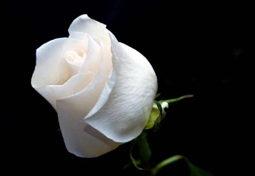 duelo con rosas